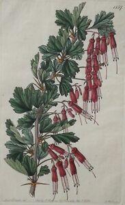 Engraving Shewy Gooseberry Ribes Speciosum by Ridgeway 1833 Plate #1557 Botanica