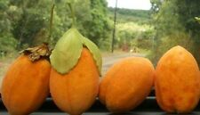 Passiflora Hawaiian Sweet 10 seeds