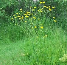 Wildflower semences-meadow buttercup - 200 graines