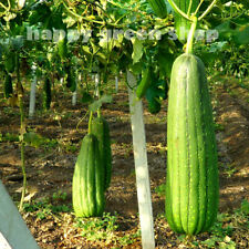 VEGETABLE SEEDS - GOURD - LUFFA VEGETABLE SPONGE - 15 SEEDS