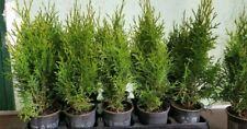 20 Stück Thuja Smaragd   circa 45 bis 50 cm  Heckenpflanze Immergrün