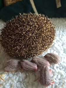 ** PLEASE HELP SAVE THE HEDGEHOGS ** GENUINE CHARITY SALE ** BUY OUR MAGAZINE **