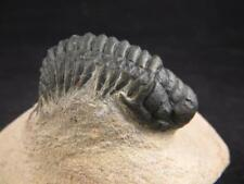 S.V.F - Crotalocephalina Trilobite - Devonian - Morocco - Crotalocephalus