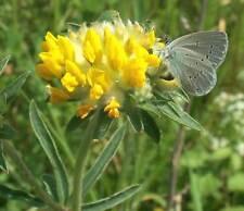 Fairy Garden seeds approx, 25 seeds Wild Kidney Vetch, Wild  Flower Seed