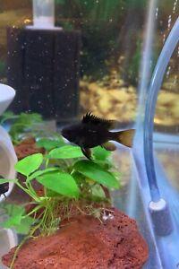 6 Black Knight Ram Cichlids (Mikrogeophagus Ramirezi) live fish