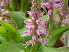 Highly Variable Cape Hyacinth - Fresh Seeds