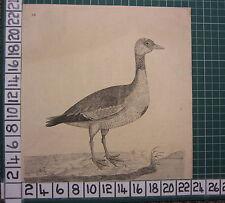 c1735 PRINT GOOSE ~ ANTIQUE BIRD PRINT ELEAZER ALBIN ~