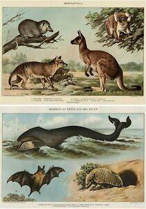 MAMMAL & MARSUPIAL TWO 1902 Stone Chromolithos Extinct Thylacine Tasmanian Tiger