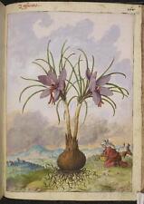 Crocus Plant Botanical Vintage Print 7x5 Inch Reprint