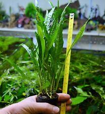 """Live 20cm + Java Fern Microsorium pteropus """"NARROW"""" Aquarium Plant Shrimp Safe"""