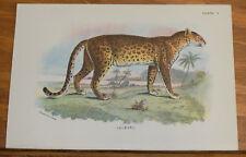 1890s Antique COLOR Animal Print///LEOPARD
