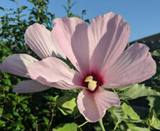 Pink Swamp Rose Mallow 200 seeds (Hibiscus grandiflorus)-huge blooms (2019)