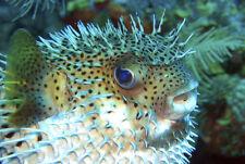 Pufferfish - 3D Postcard Lenticular Greeting Card