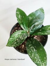 "Hoya carnosa ""stardust"" plant, waxplant, cutting with leaf - rooted"