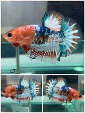 New listing Betta Live Fish - Male Fancy Koi Hmpk - L7 - Hight Quality - Star Tail