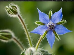 "Borage Seeds ""Blue"" (30 seeds) Beautiful Garden Flower"