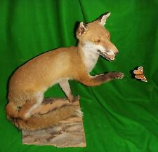 FOX and BUTTERFLY Trophy Hunting Taxidermy