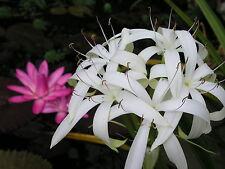 Crinum Lily, Erubescens, small-size bulb - aquatic