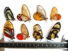 LOT OF 8 BUTTERFLIES GLASS CLEAR WINGS UNMOUNTED A1 FROM PERU NEW