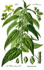 1000 Graines Urtica dioica (common nettle)  Stinging Nettle seeds