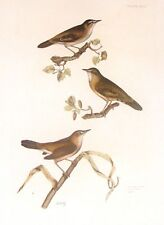 By P.J. Selby  British Ornithology  WREN & WARBLERS Hand Colored Engraving 1821