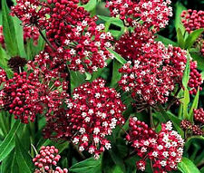 BUTTERFLY WEED ROSE Asclepias Incarnata - 200 Bulk Seeds