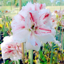 2Pcs White Stripe Red Amaryllis Seeds Barbadoslily Plant Seed Home Garden Bonsai