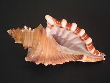 Hard2Get/Collector Fave....CYMATIUM FEMORALE~136mm~Dominican Rep SEASHELL