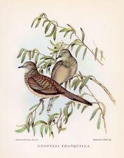 PEACEFUL GROUND DOVE ~ John GOULD Large Color Bird of Australia Art Print