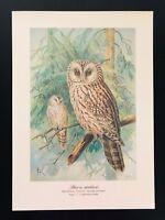 Antique Bird Print-Tengmalm's 2 Ural Owl SCHLEIEREULE-Plate Naumann-1896