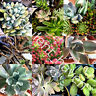 """15 Lot Fresh Succulent Cuttings Assorted Varieties 1"""" to 4"""" Size"""