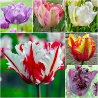 TULIP BULBS SPRING FLOWERING 'PARROT TULIPS' HARDY GARDEN PERENNIAL BULBS