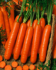 Mini Carrot Seeds, Little Finger, Heirloom Bulk Carrots, Finger Carrots, 500ct