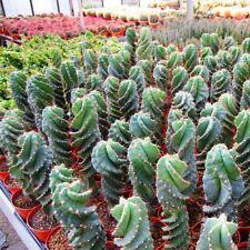 Cereus forbesii Spiralis -spiraler Kaktus M