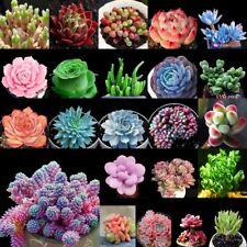 100 Samen Mixed Sukkulenten Samen Living Stones Pflanzen Hause Gartenpflanze