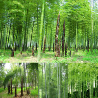 100Pcs Seeds Green Phyllostachys Pubescens Moso-Bamboo Seeds Garden Plants HOT