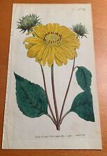 William Curtis 1793 Many flowered Sunflower H/C print 18th C copper etching