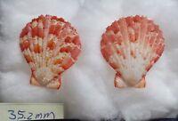 Molluscum Pectinidae Decadopecten  Aurantiacus, Adam&Reeve, Okinawa,1850,35.2mm