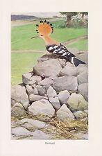 Wiedehopf (Upupa epops) Racken   Vogel Farbdruck 1911