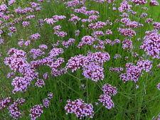 700+ Samen Verbena bonariensis purple - Verbene , Argentinisches Eisenkraut