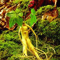 50Pcs SAMEN Chinese Panax Ginseng Samen Asian frisch Ernährung Einpflanzen T4I2