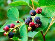 100 Seeds Amelanchier Shadbush Shadblow Serviceberry Sarvis Juneberry Fruit Tree