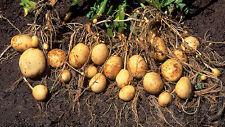 30 Seeds Rare Sweet Potato Seeds  Original Thailand Seeds.