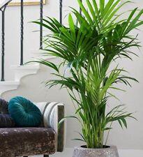 KENTIA PALM Howea forteriana popular indoor house plant in 200mm pot
