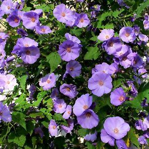 15 Samen Violette Schönmalve - Abutilon x suntense - Purpur-Samtpappel - Mallow
