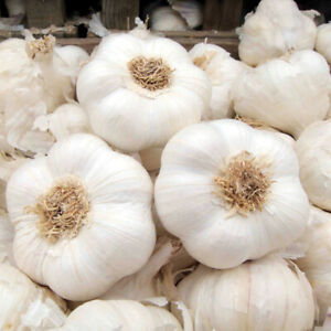 Provence Wight Strong Flavoured British Garlic Seeds 50 Cloves for Large Bulbs