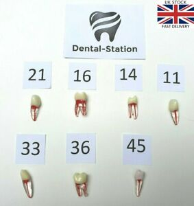 Dental Endodontic Teeth, Tooth With Root For Endodontic Practice 11,14,16,36,45
