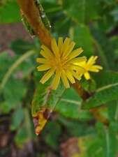 50 Samen Lactuca virosa, Giftlattich, Wilder Lattich, Stinklattich
