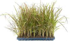 Red Fountain Grass - Pennisetum Setaceum Rubrum - Live Plants - Ornamental Grass