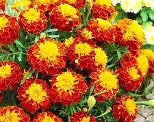 FRENCH MARIGOLD - HARMONY - 300 SEEDS  - Tagetes Patula nana ANNUAL FLOWER